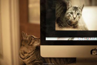 ちゃま サバ寅 野良猫