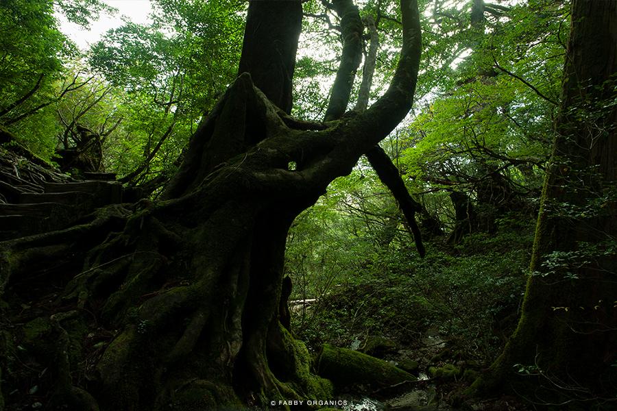 The YAKUSHIMA Island 屋久島 縄文杉・ワンデイ・ピストン